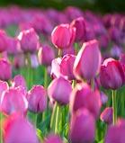 Tulip Mania, Ottawa